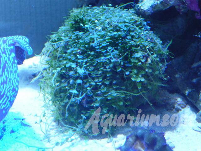 海藻スズカケヅタマリンプランツ