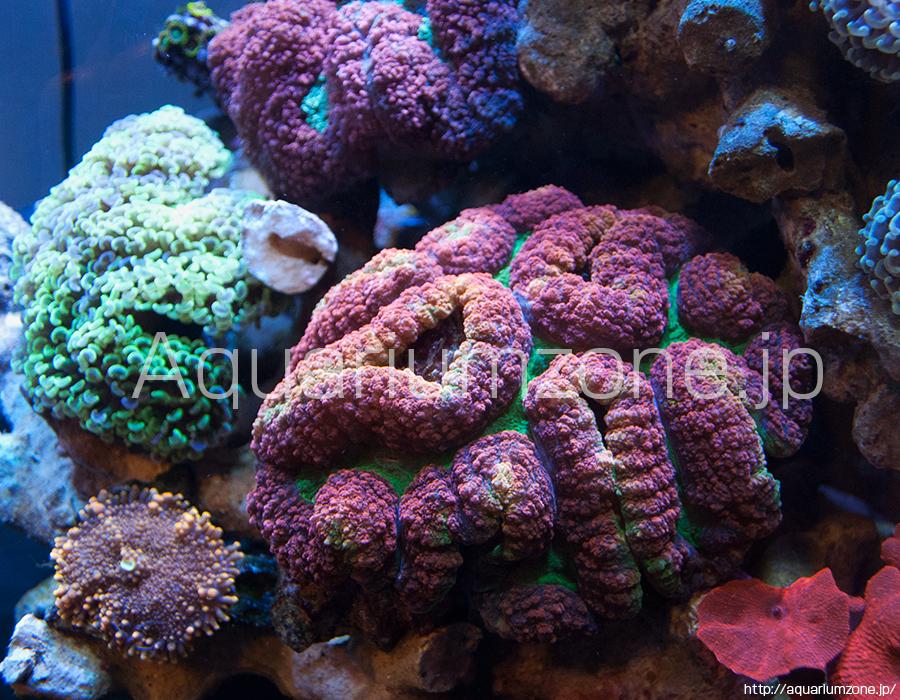 水槽内で成長するハナガタサンゴ