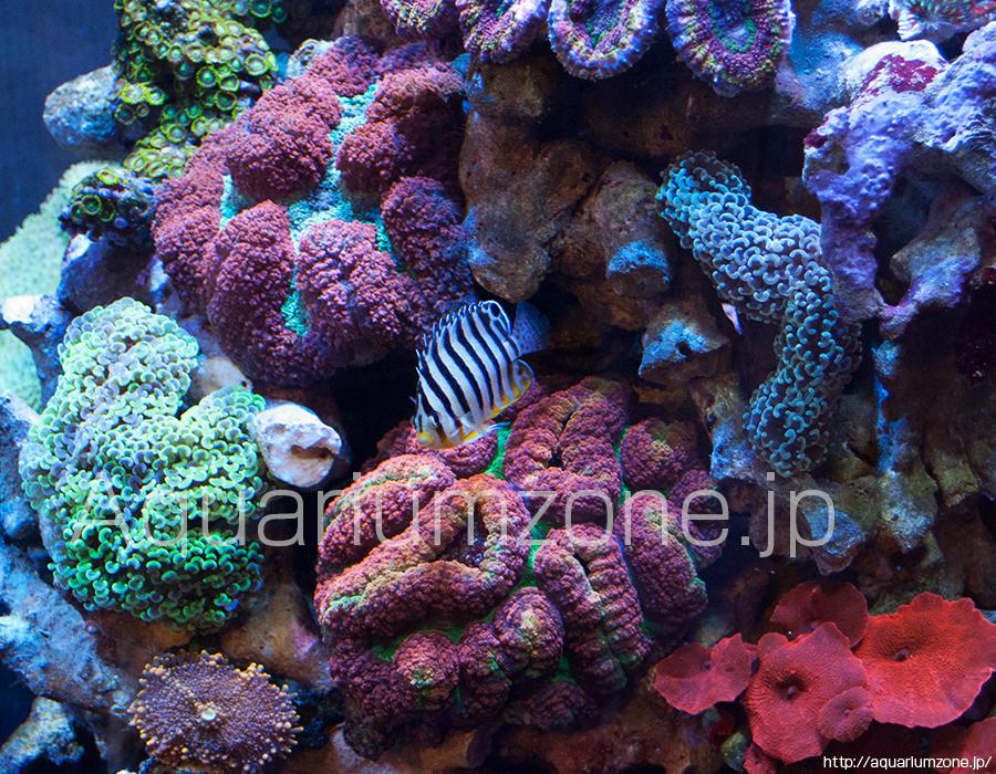 ハナガタサンゴとヤッコの混泳は注意が必要