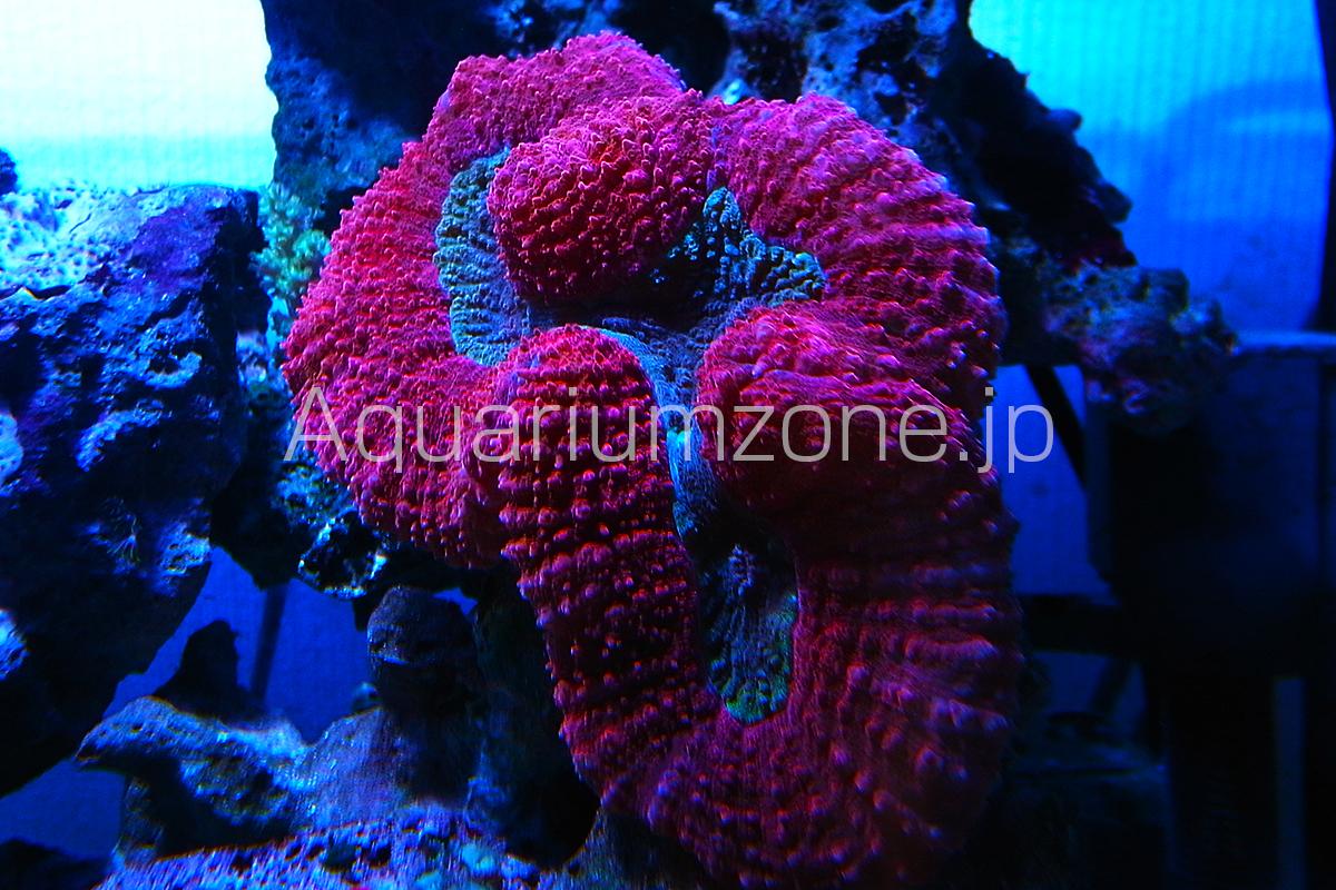 水槽内で巨大に成長するパラオハナガタサンゴ