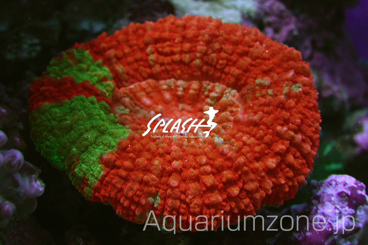 スプラッシュで販売されているガラハナガタサンゴ