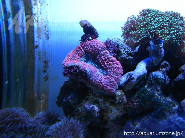 ハナガタサンゴの飼育について