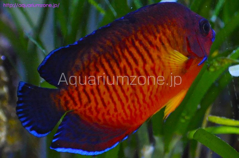 ルリヤッコ色彩変異個体の混泳飼育