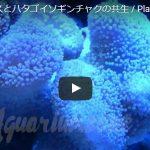 白いクマノミとハタゴイソギンチャクの共生動画