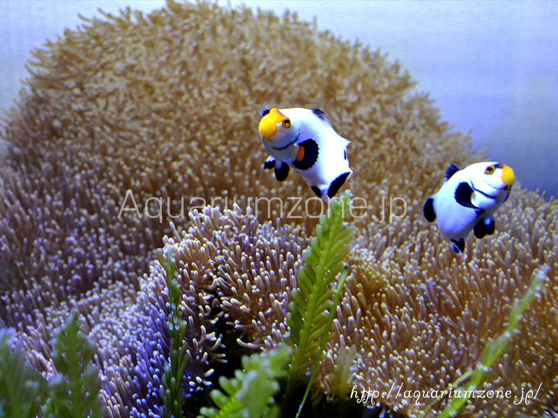 マリンプランツ(海藻)の選択と長期間の維持について