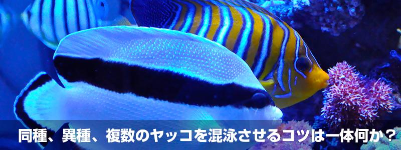 同種、異種、複数のヤッコを混泳させるコツは一体何か?