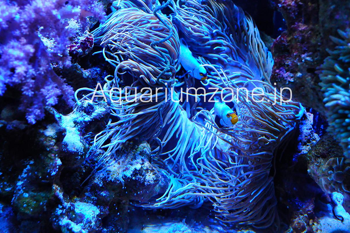 サンゴ水槽で飼育中のシライトイソギンチャクと共生するカクレクマノミ