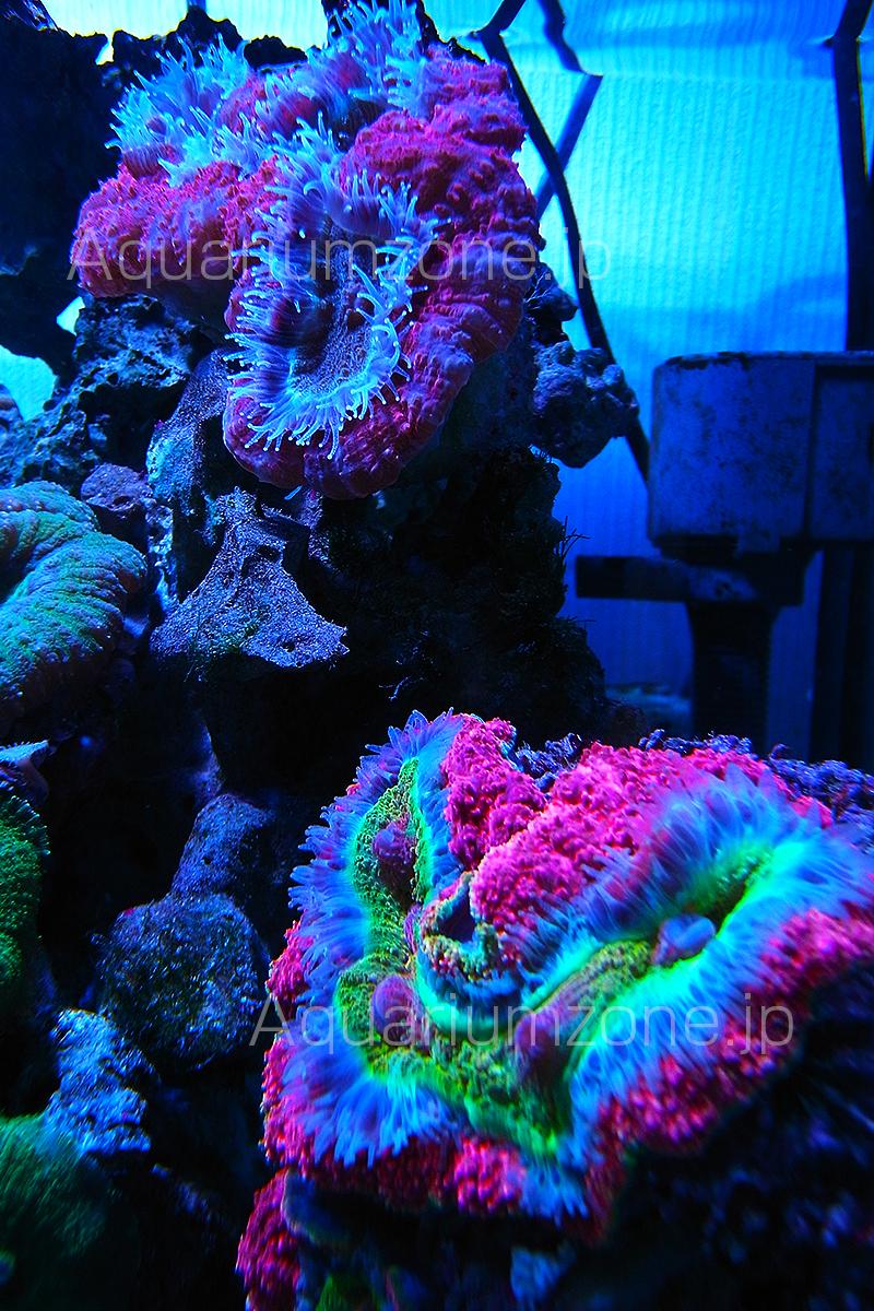 餌をあげた瞬間に触手を開くハナガタサンゴ