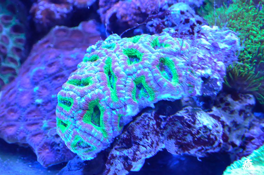 ライムグリーンがとても美しいカクオオトゲサンゴ追加