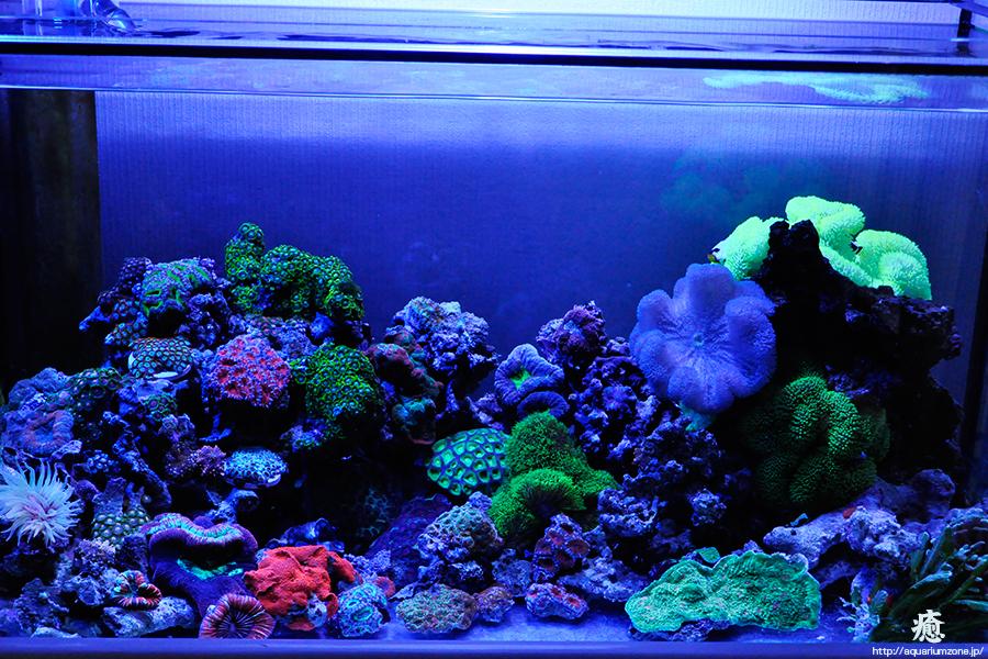 バヌアツシマヤッコ、ハタゴイソギンチャクスペシャルカラー黄、青、緑、3固体追加