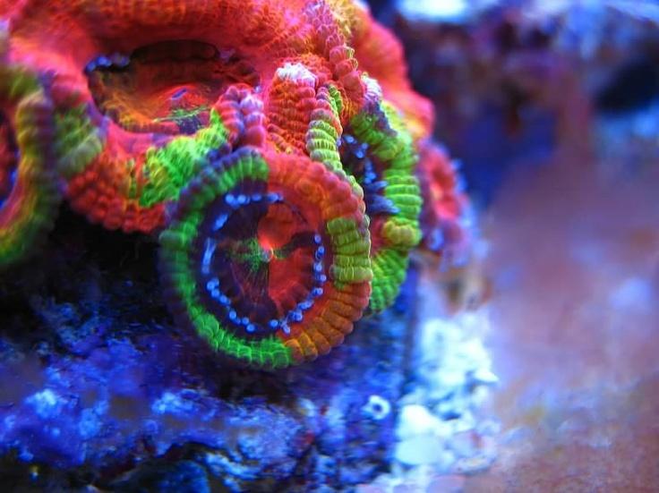 七色に輝く珊瑚!カクオオトゲキクメイシの写真66枚