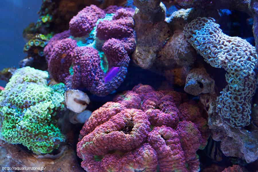 スプラッシュさんとコーラルラボさんで購入した珊瑚たち
