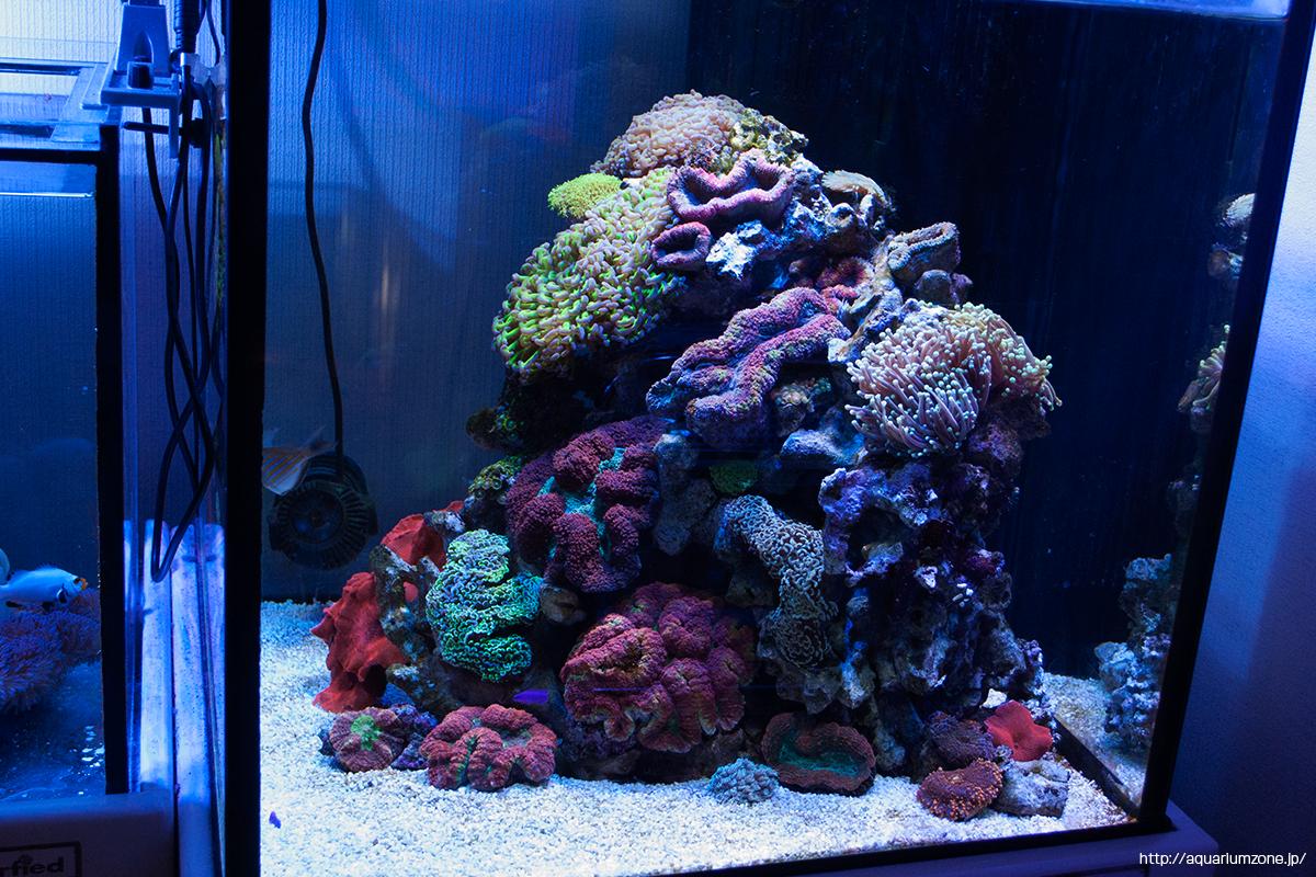 ハナガタサンゴとナガレハナサンゴの接触