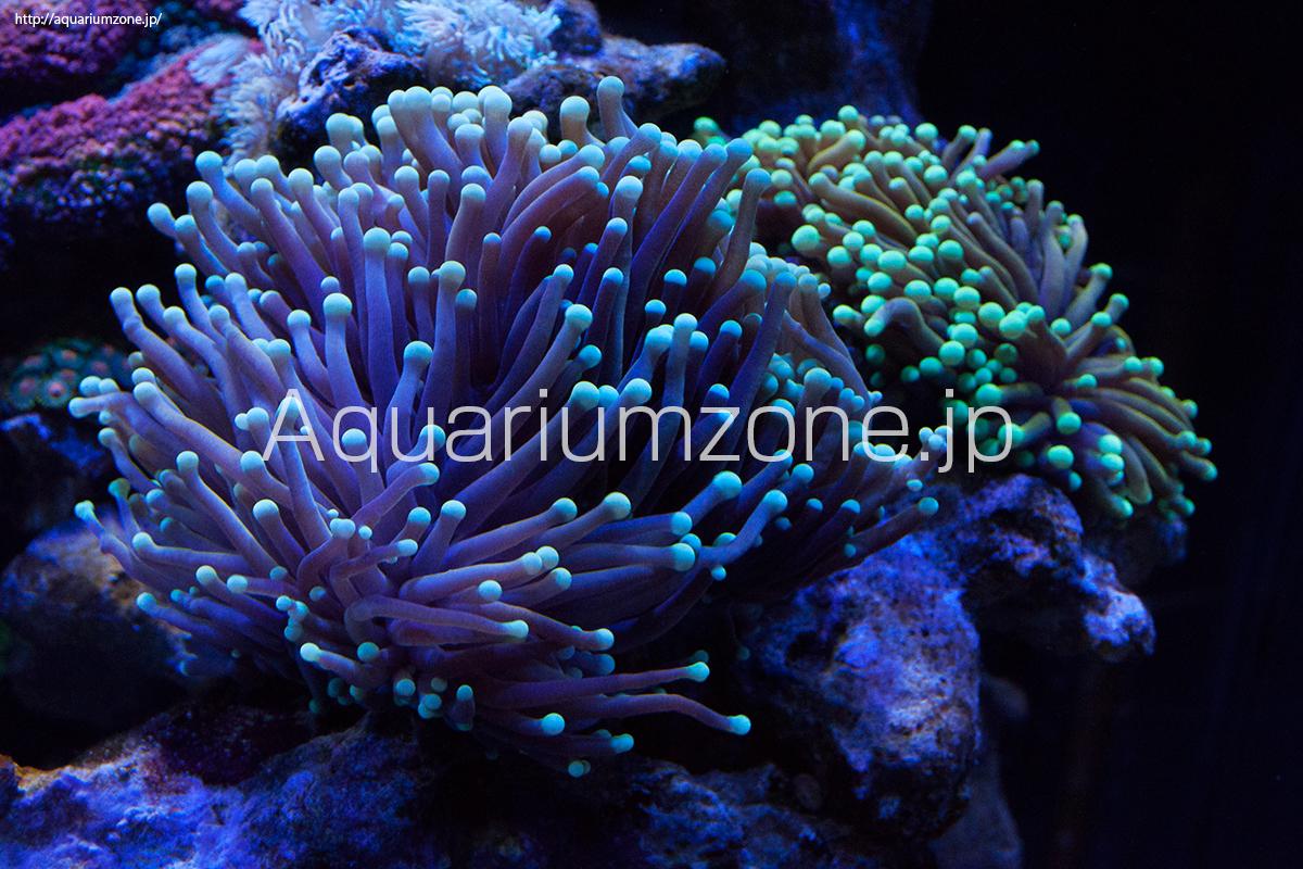 水槽で飼育中のイエロータイプのツツマルハナサンゴ
