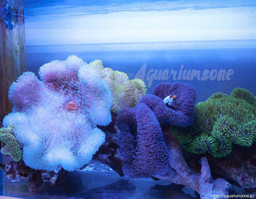 水槽内で色が抜けて白くなってしまったハタゴイソギンチャク