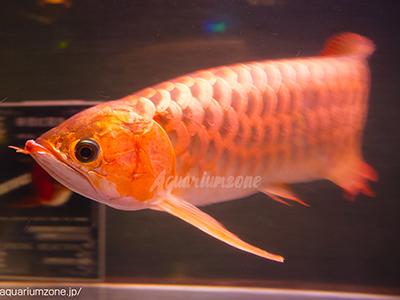アロワナ華僑紅龍魚、古代魚が泳ぐ18BAR(横浜馬車道)