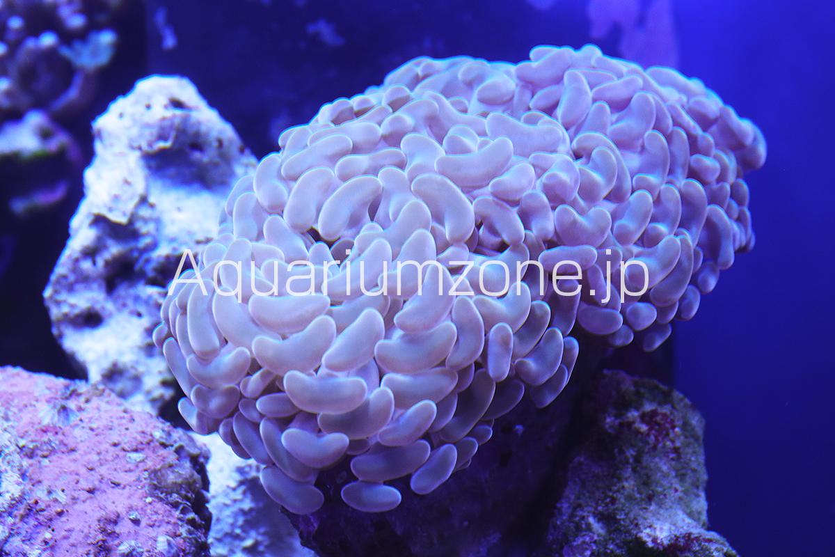 ナガレハナサンゴのイエロー個体