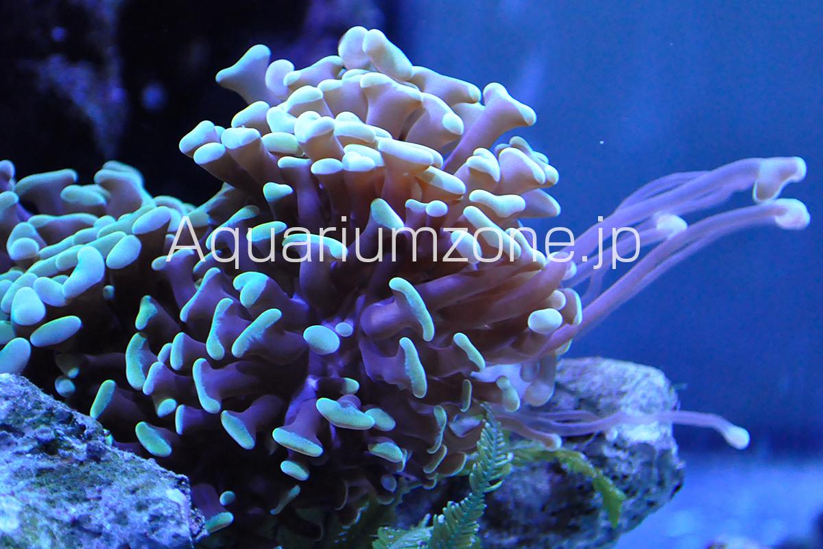 スイーパー触手を伸ばすブランチタイプのナガレハナサンゴ