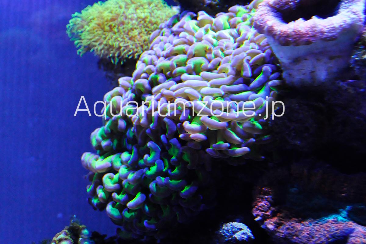 オーストラリア産の軸グリーンなナガレハナサンゴ