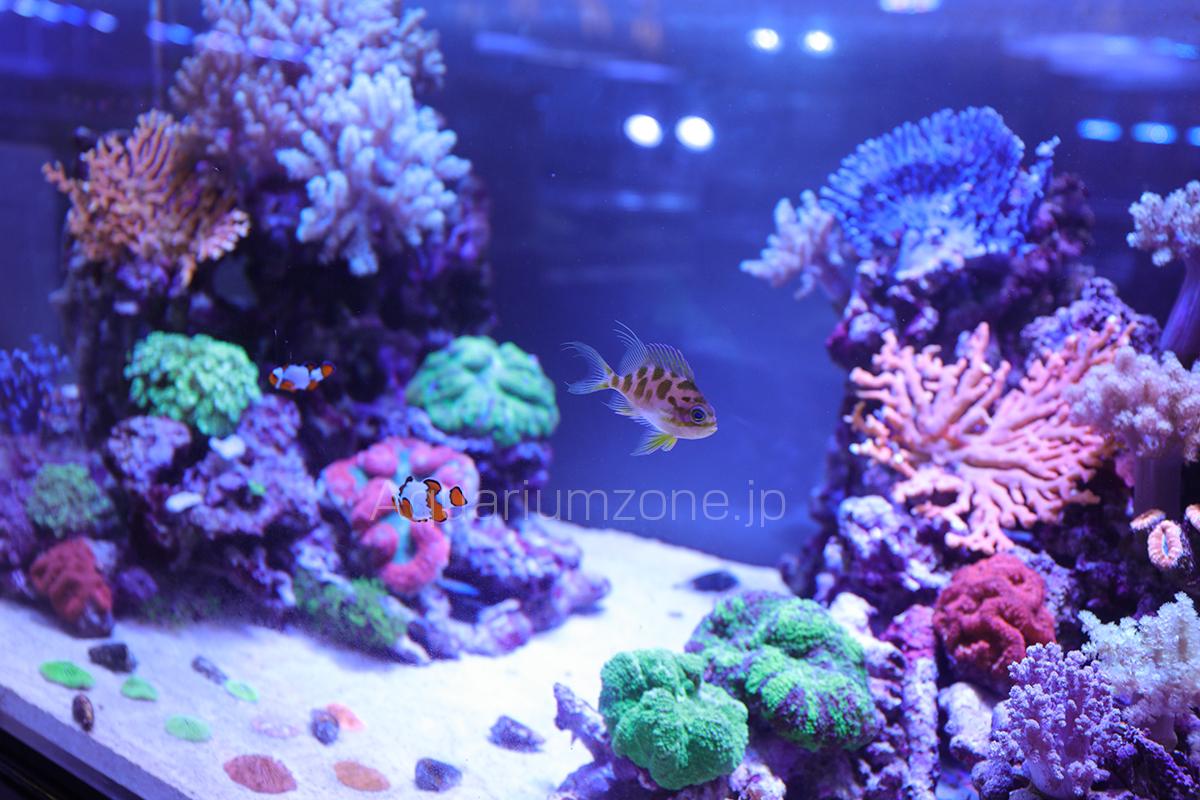 スプラッシュの海水魚、珊瑚販売水槽