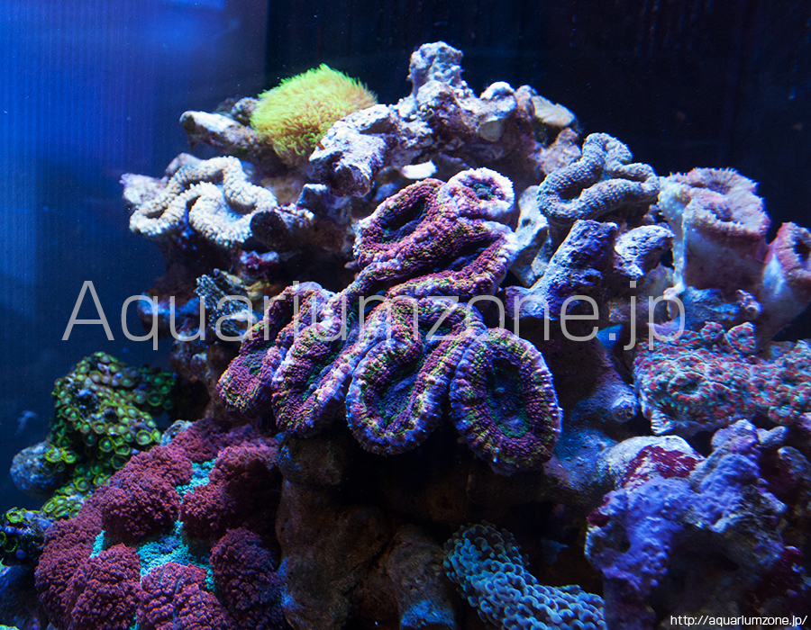 珍しいマルチカラーのマルハナガタサンゴ