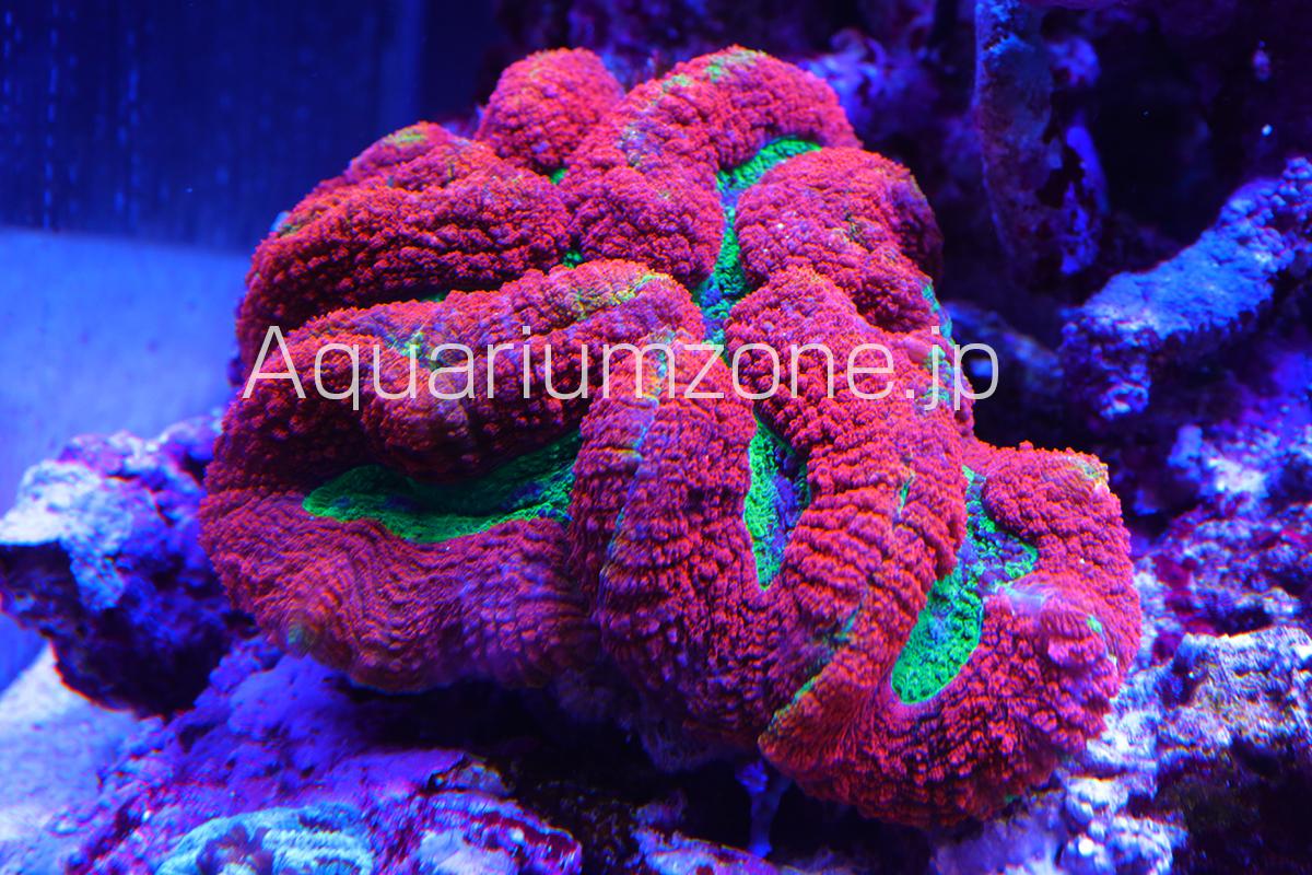 年単位で水槽で飼育中のハナガタサンゴ