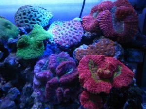 ハナガタサンゴがいる水槽