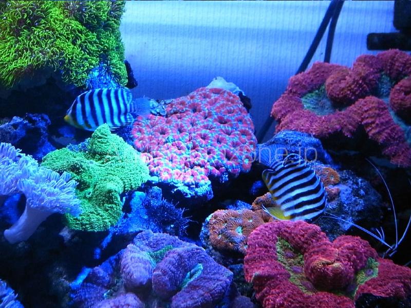 珊瑚水槽でのシマヤッコ混泳