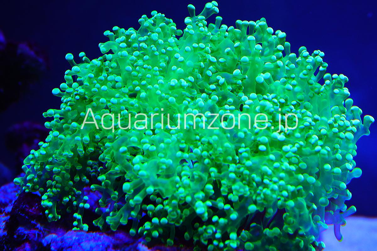 人気のタコアシサンゴクリアグリーン個体