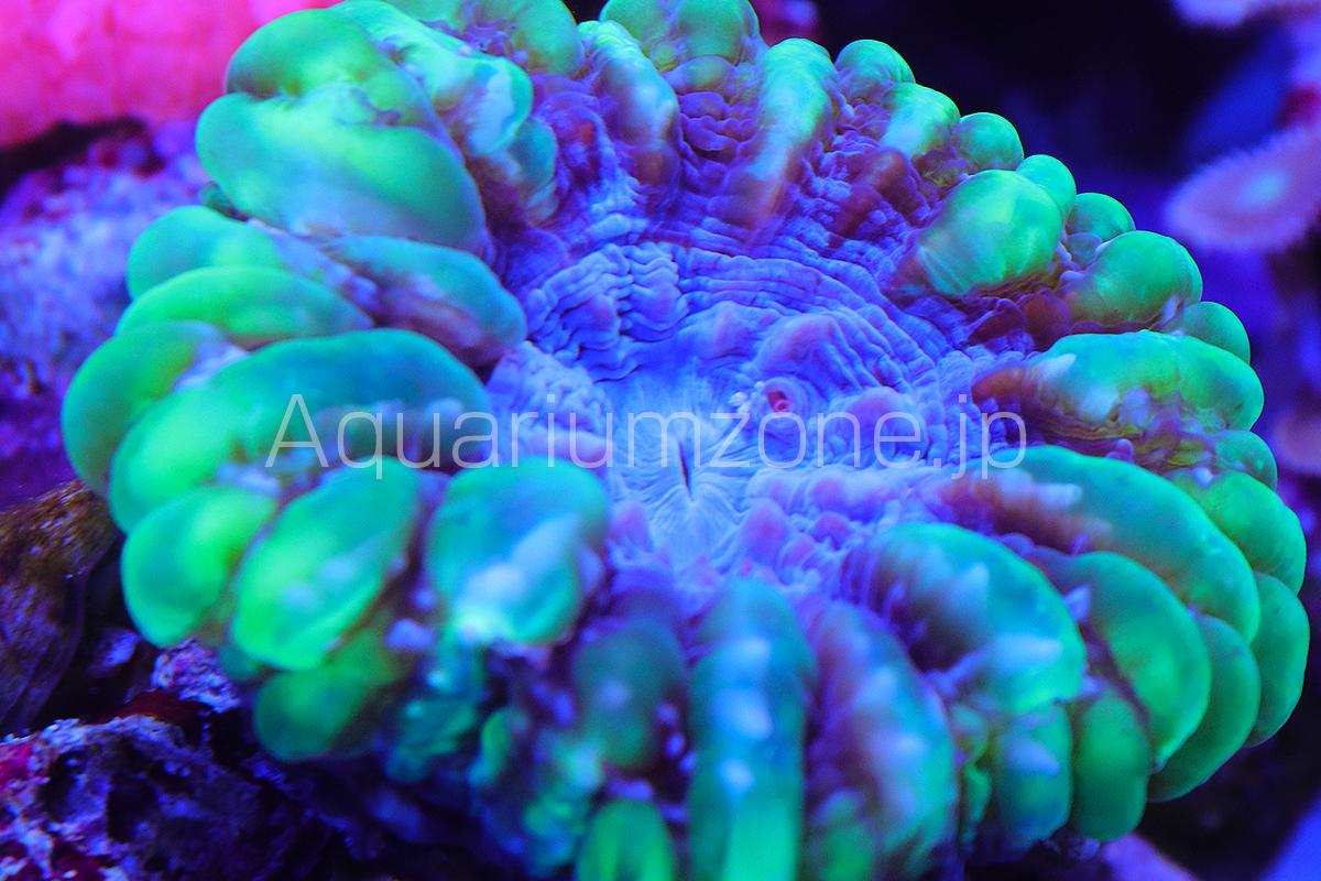 水槽で飼育中のコハナガタサンゴのグリーン個体