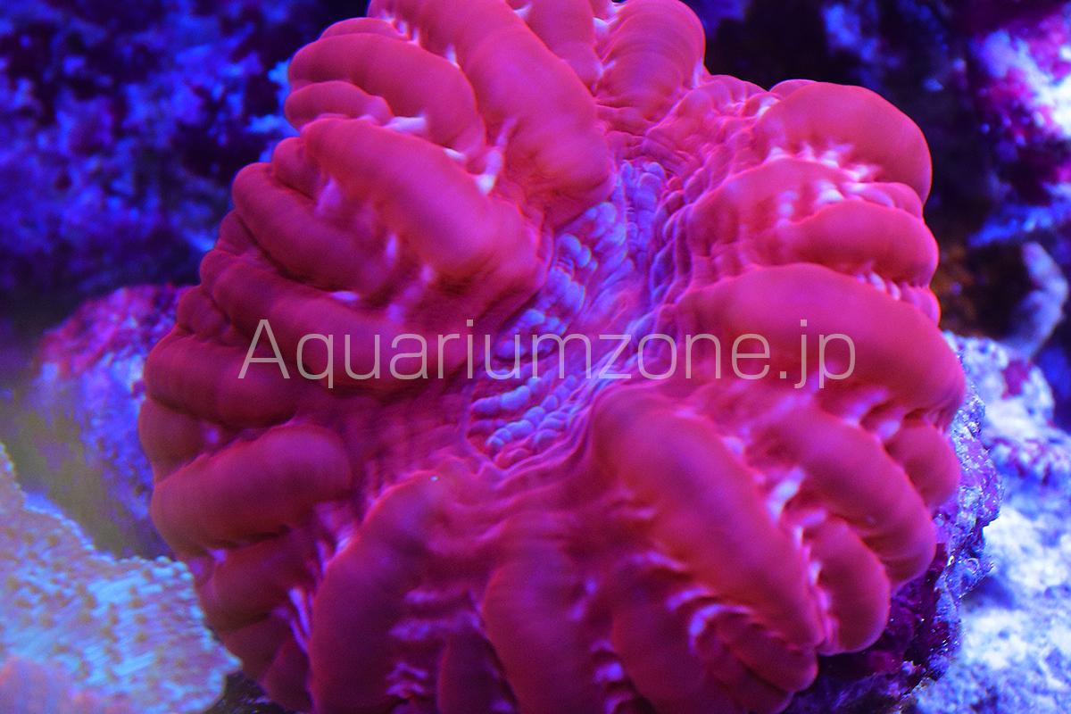 水槽で飼育中のコハナガタサンゴのレッド個体