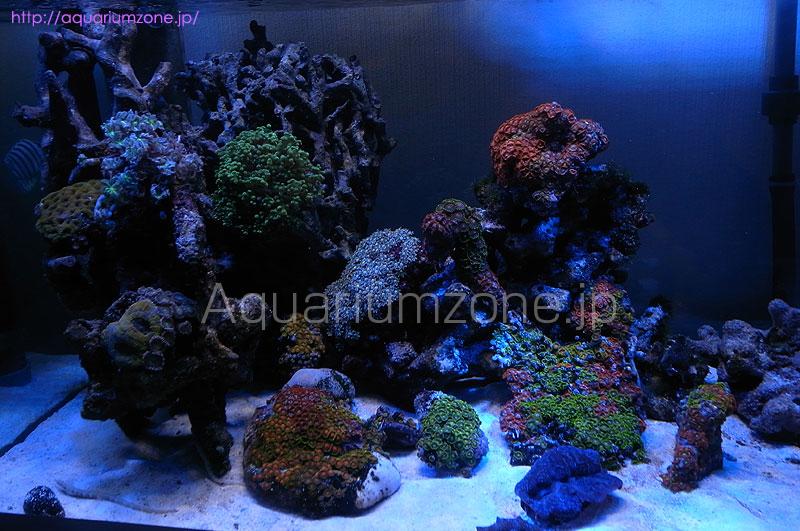 クダサンゴとマメスナ水槽