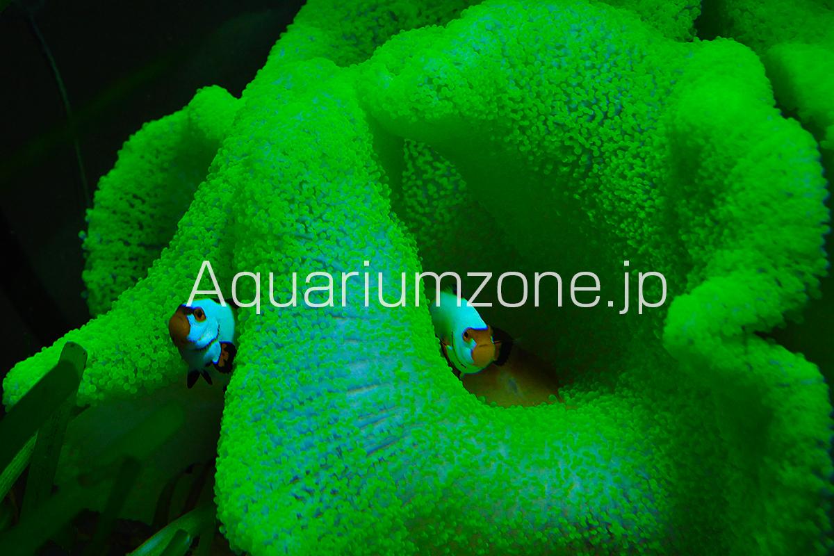 蛍光グリーンのイボハタゴイソギンチャクと共生するカクレクマノミ