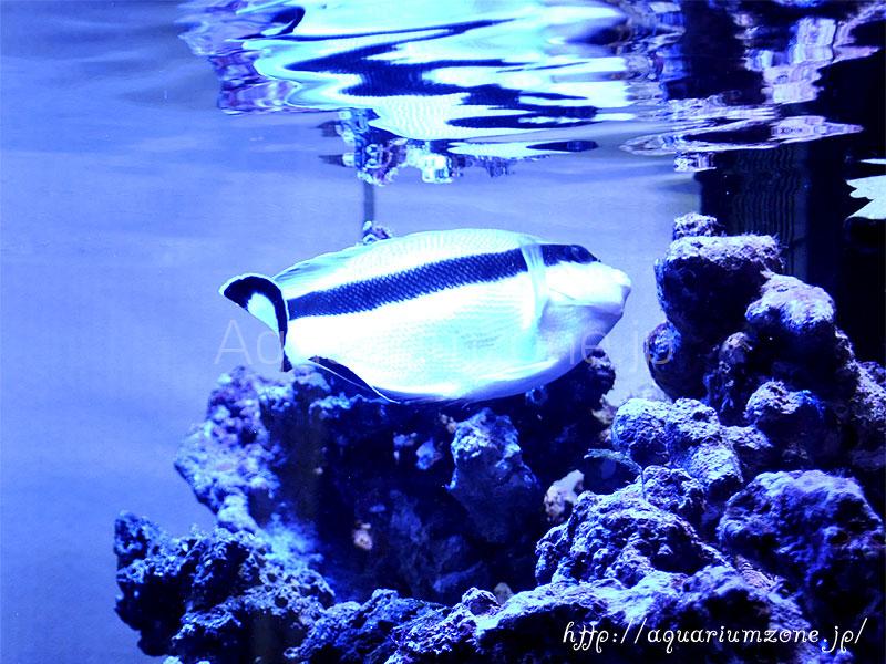 ブラックバンドエンゼルの餌と餌付けと混泳