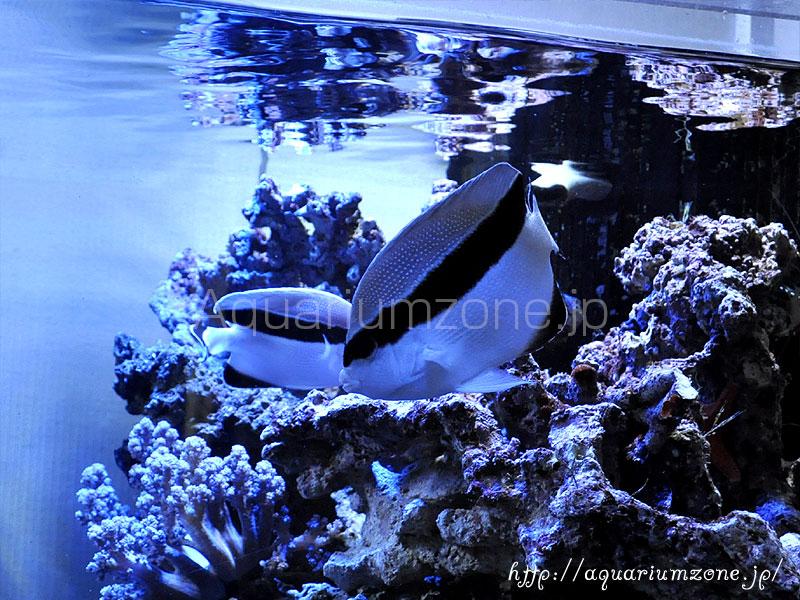 ブラックバンドエンゼルの餌付けと混泳