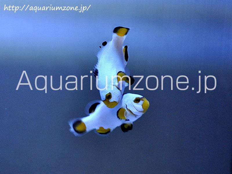 白いカクレクマノミプラチナオセラリスの幼魚
