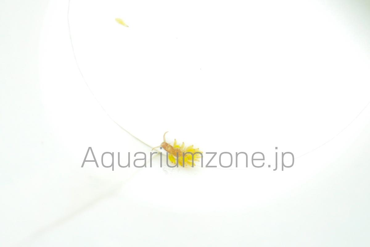 水槽内で捕獲したサンゴを食べるウミウシ