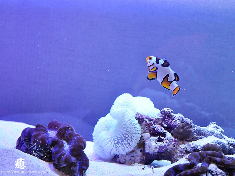 「歌舞伎役者のような隈取を持った小さな魚」がクマノミの由来