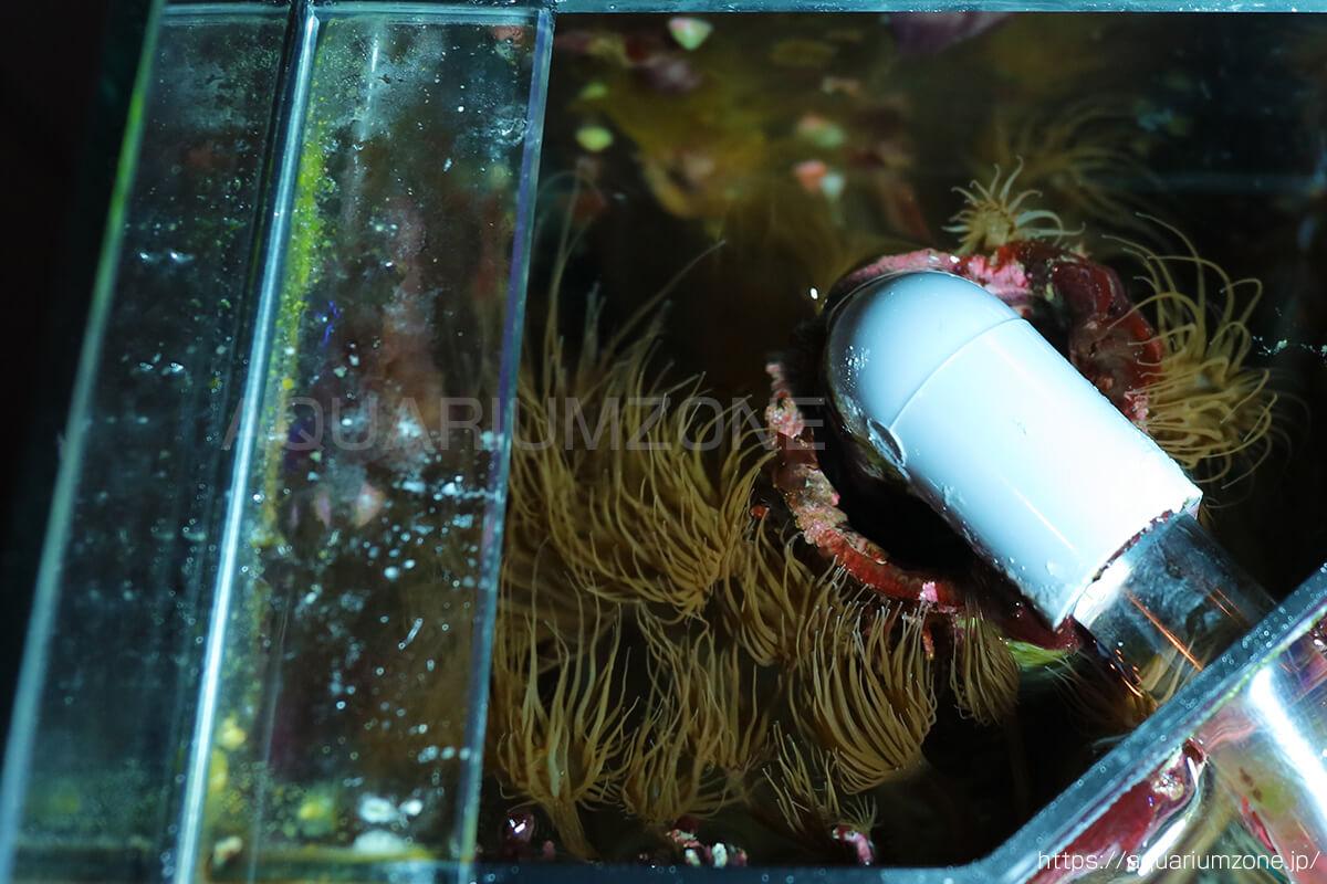 コーナーボックス内に大量発生するカーリー(セイタカイソギンチャク)