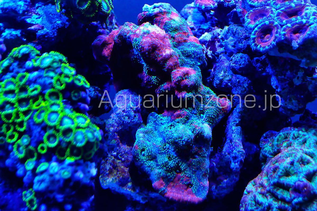 カラーバリエーション豊富なキッカサンゴ