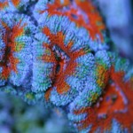 世界で販売されているカクオオトゲキクメイシの写真ギャラリー66枚アップ