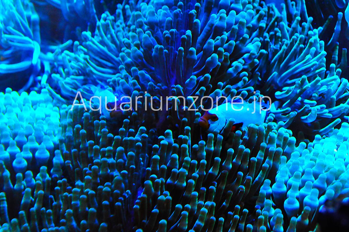 水槽内で成長したタマイタダキイソギンチャクの群生