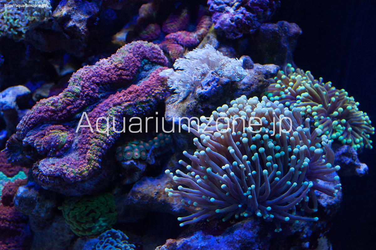 サンゴ水槽のツツマルハナサンゴ