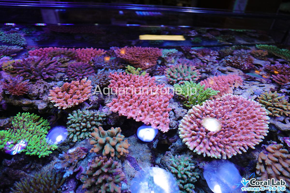 綺麗に珊瑚を維持しているコーラルラボの水槽