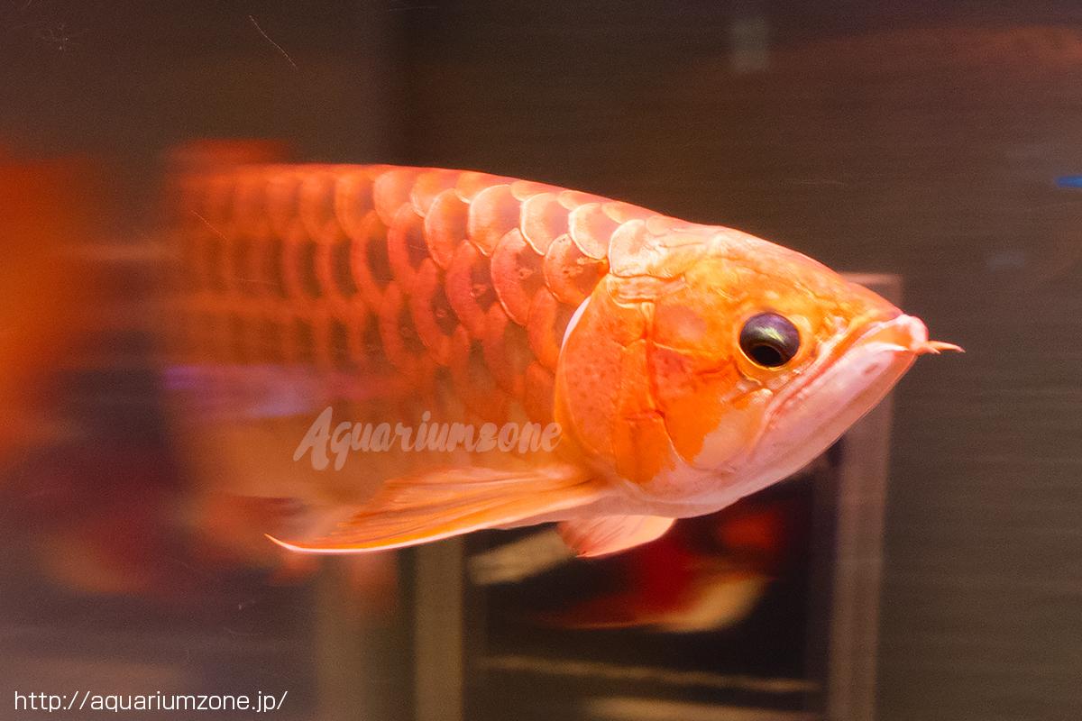 アロワナ華僑紅龍魚、古代魚が泳...