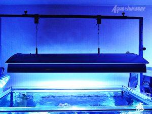 ハタゴイソギンチャクを飼育する際の照明について