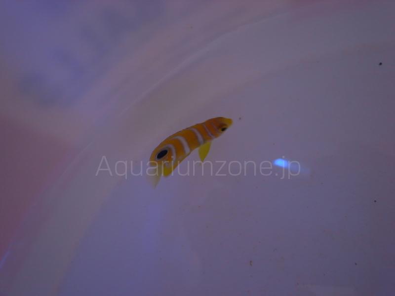 ニシキヤッコの幼魚