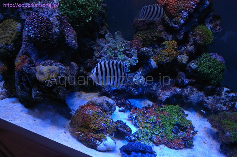 シマヤッコ飼育に適切な水槽内の魚の数