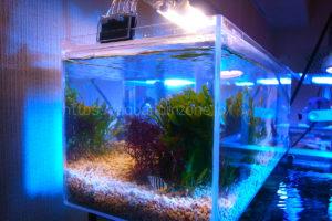 リフジウム水槽内で隔離飼育中のシマヤッコの幼魚