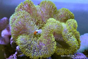 ハタゴイソギンチャクイエロー固体(インドネシア産):2015年12月23日自宅水槽にて撮影
